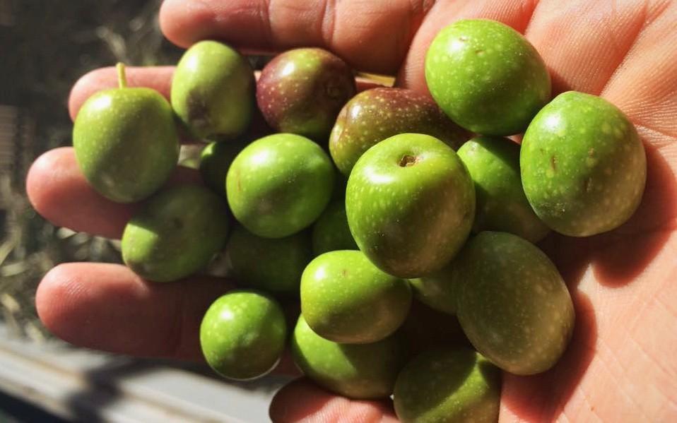 [:es]Olivas de Oro del Desierto[:en]Fresh olives of Oro del Desierto[:de]Frische Oliven von Oro del Desierto[:]
