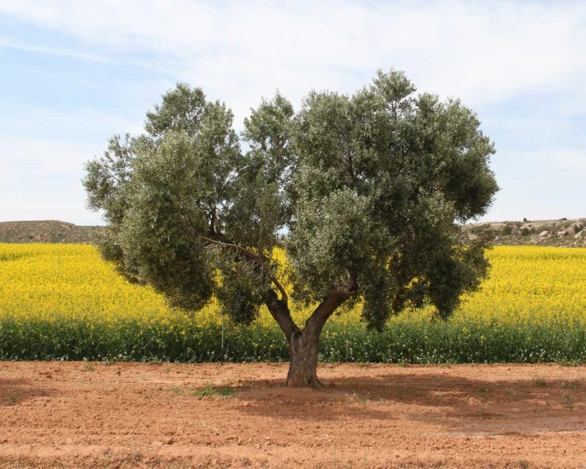 Olive tree in rape oil field