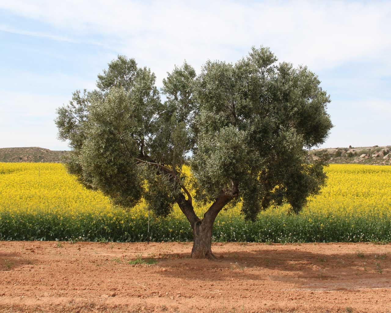Olive tree in rape oil field