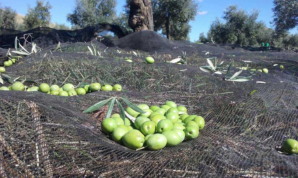 olive oil harvest at finca la torre