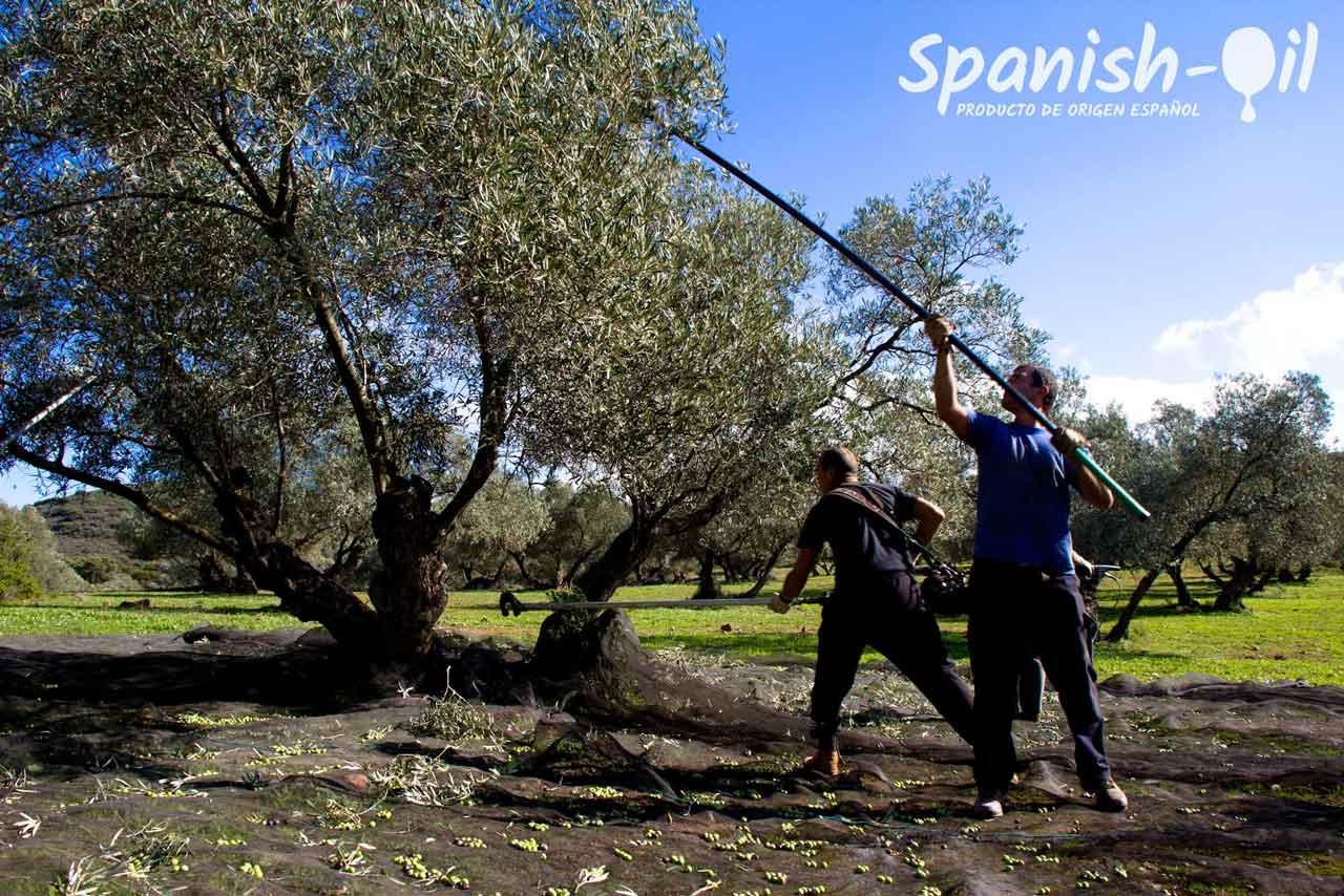 Finca la Torre Olive Oil Harvest