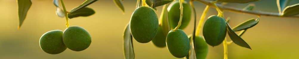 Huile d'olive - Goût - Intensément fruité