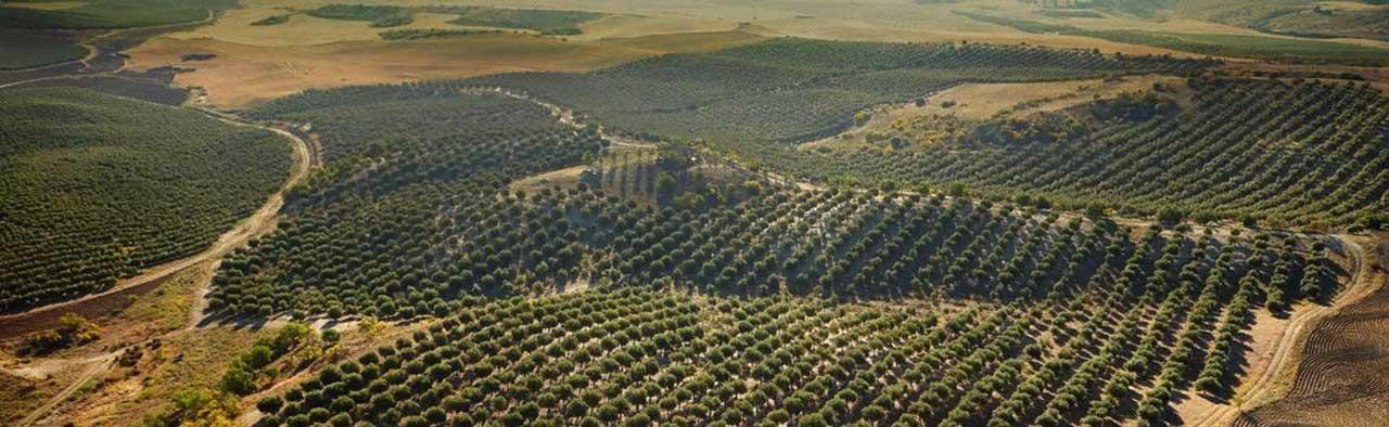 Olives of Casas de Hualdo Olive Oil
