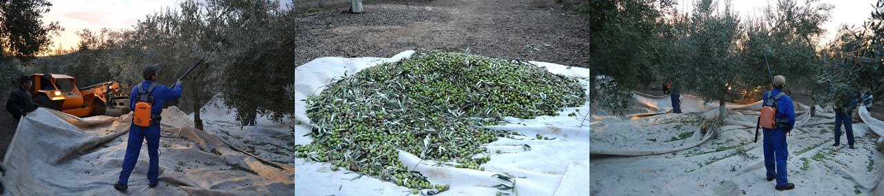 Olivenernte bei Casas de Hualdo