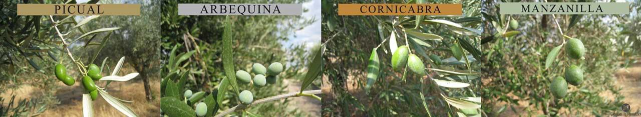 Olivensorten von Casas de Hualdo