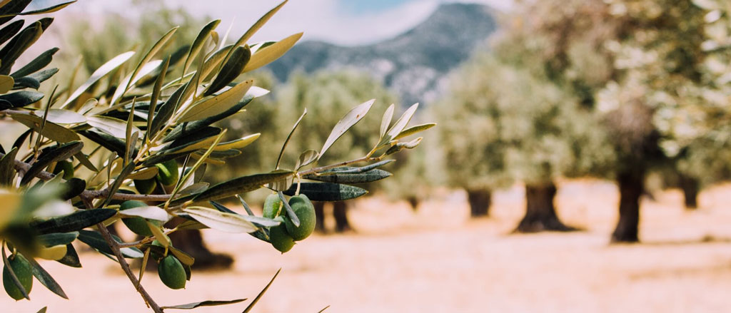 Olive trees of Fina la Torre