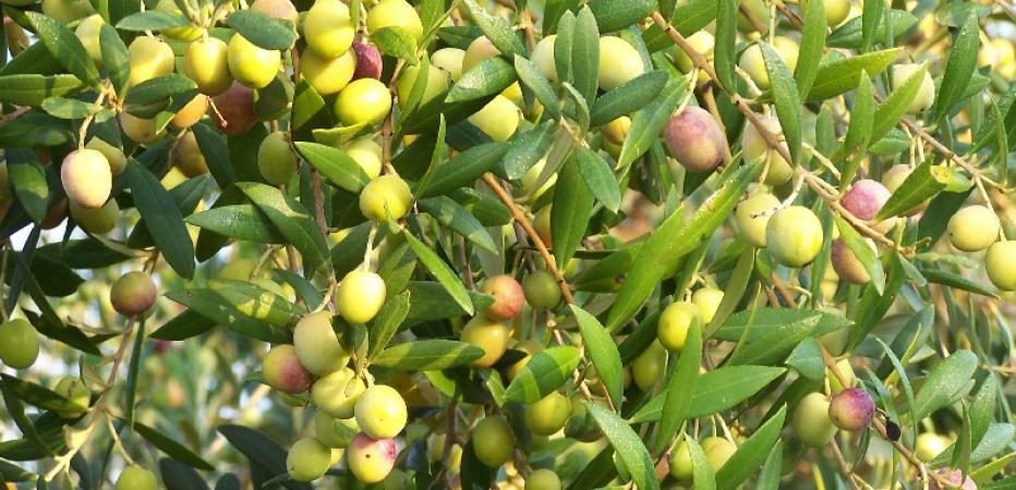 Oliven von Alfar la Maja, von der Blüte zur Olive