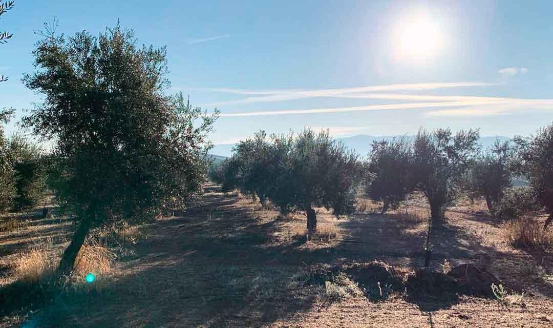 O-Med Olivenöl Olivenhain