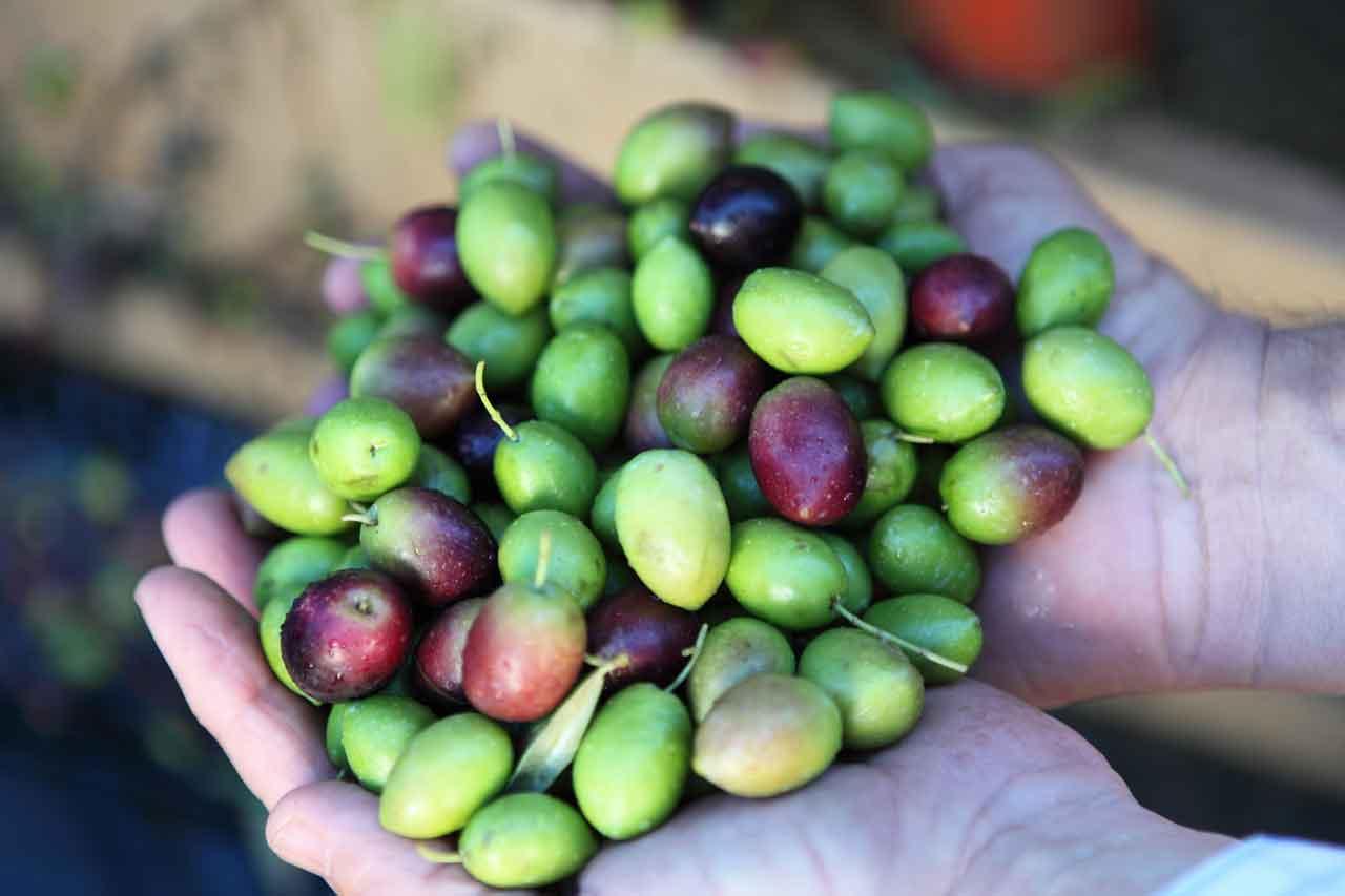Oliven auf der Hand bei Oro Bailen