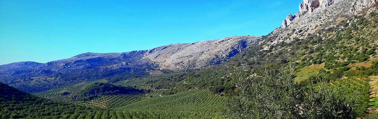Rincon de la Subbetica Olivenöl Anbau in Spanien