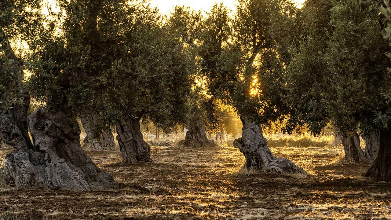 Rincon de la Subbetica Olivenöl