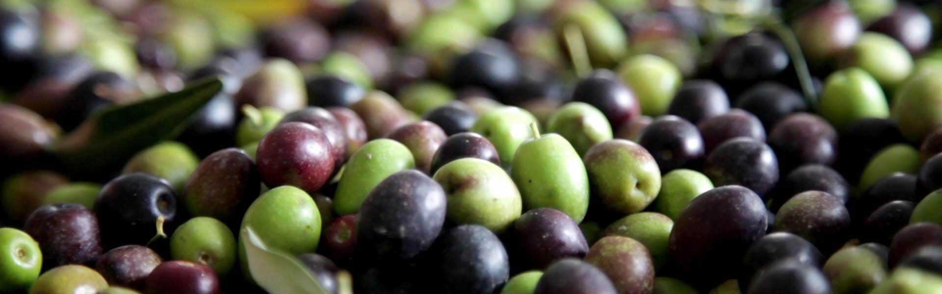 Señoríos de Relleu fresh olives at harvestime