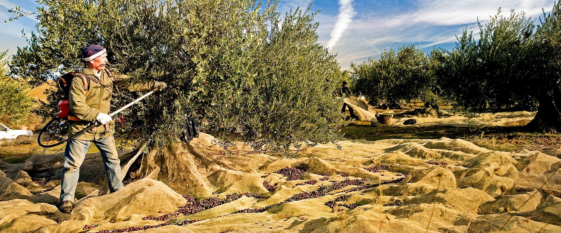 Olivenöl aus Navarra, hier werden die Oliven noch mit Handarbeit gepflückt