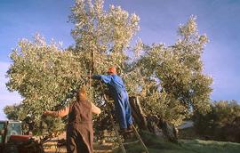 Olivenernte Spanien