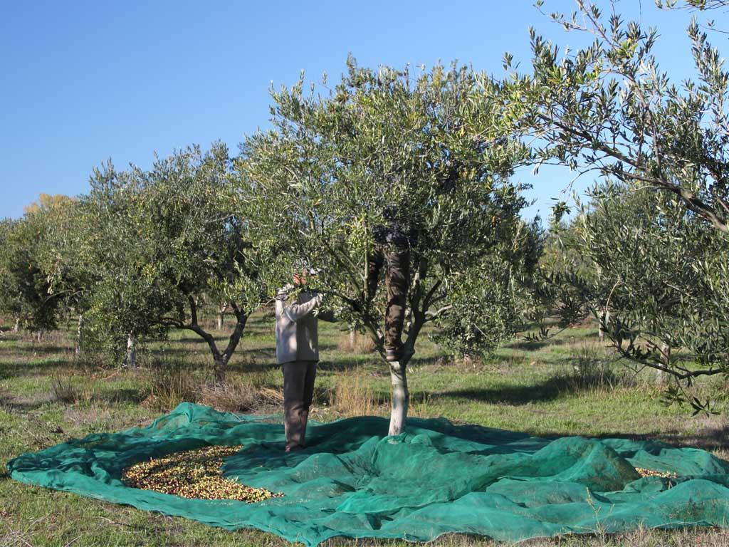 Oliven direkt vom Olivenbaum Pflücken