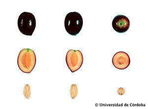 Querschnitt von Picual Oliven