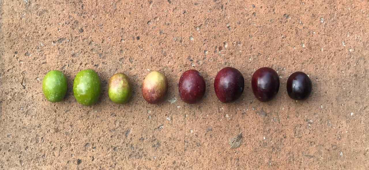 Reifegrad von Oliven